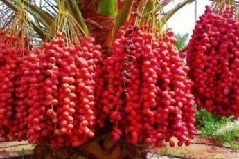 Этот плод может вылечить всё, кроме смерти