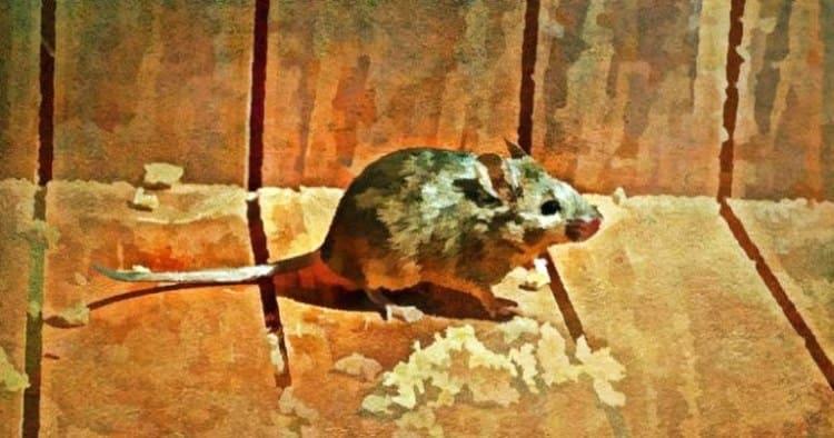 Как избавиться от мышей гуманно и заставить их забыть дорогу в дом