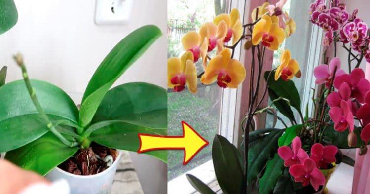 Как приготовить вкусняшку для шикарного цветения орхидей
