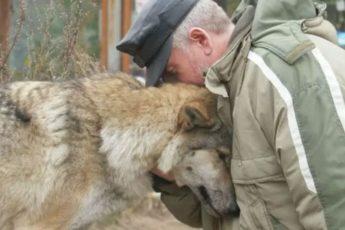 Волчица пришла просить еду и лесник ее пожалел. Через два месяца к деревне пришли 3 волка и поблагодарили человека