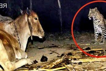 Фермер установил камеру чтобы понять, зачем леопард ночью посещает корову? Причина шокировала всех!